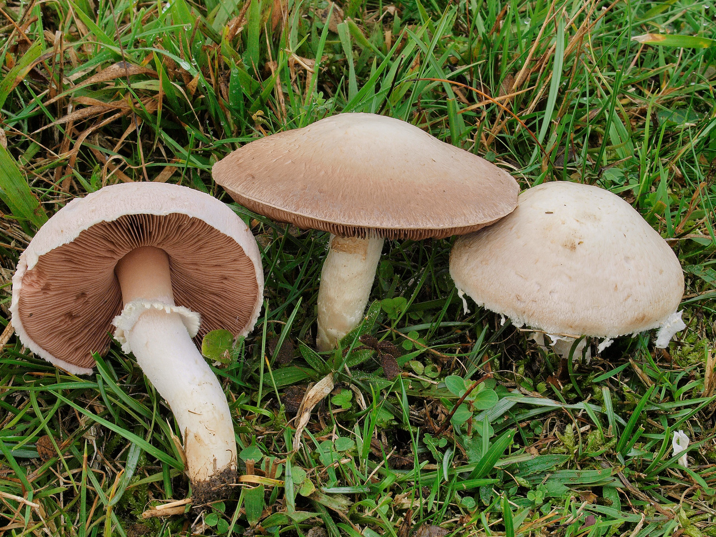 champignon weiße lamellen